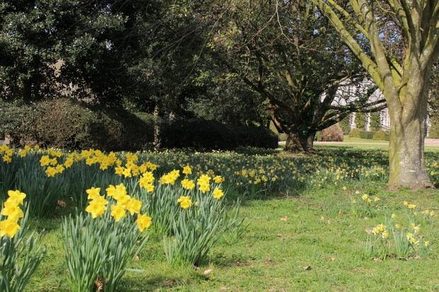 West Dean Gardens - Daffodils by the college