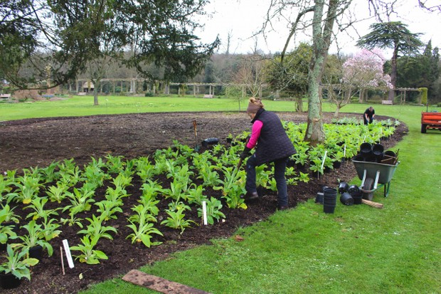 Planting foxgloves in March at West Dean Gardens