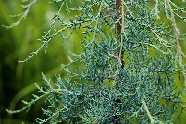 Cupressus arizonica var. glabra 'Blue Ice'