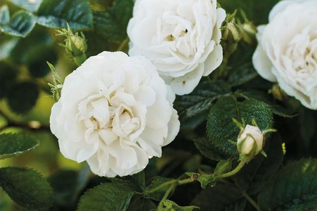 Rosa x alba 'Alba Maxima'