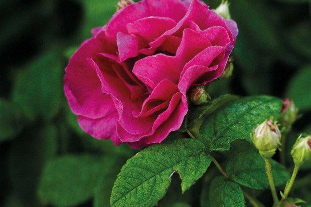 Rosa gallica var. officinalis, the traditional apothecary rose has a rich history and exotic scent.