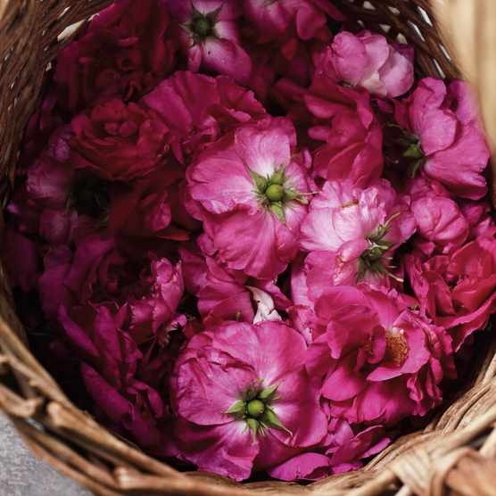 Roses are gathered early in the morning before the sun burns off the essential oils.