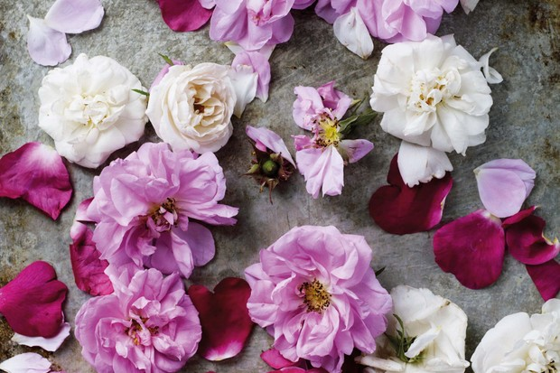 Rose petals collected for rose water