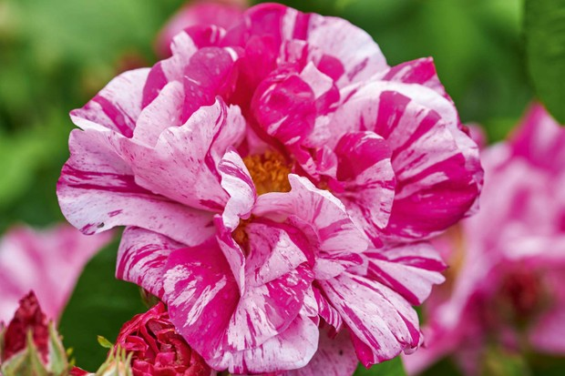 Rosa gallica 'Versicolor' (rosa mundi)