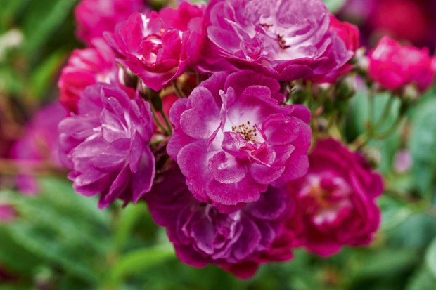 Rosa Perennial Blue (= 'Mehv9601')
