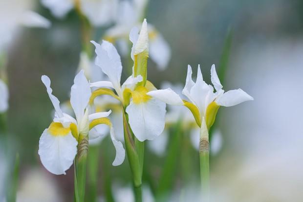 Iris siberica 'Snowcrest'