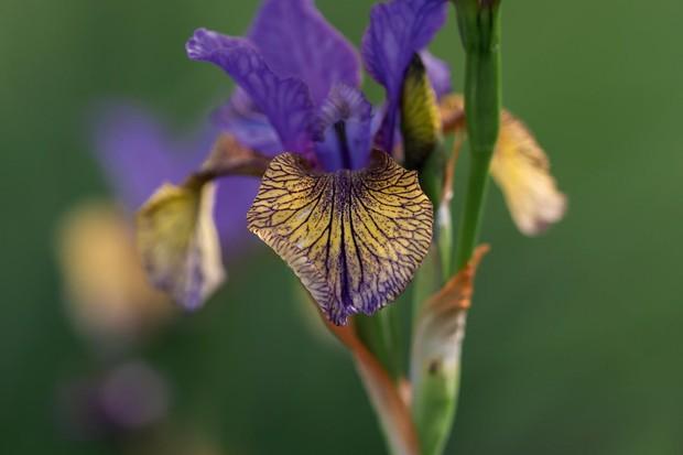 Iris siberica 'So Van Gogh'