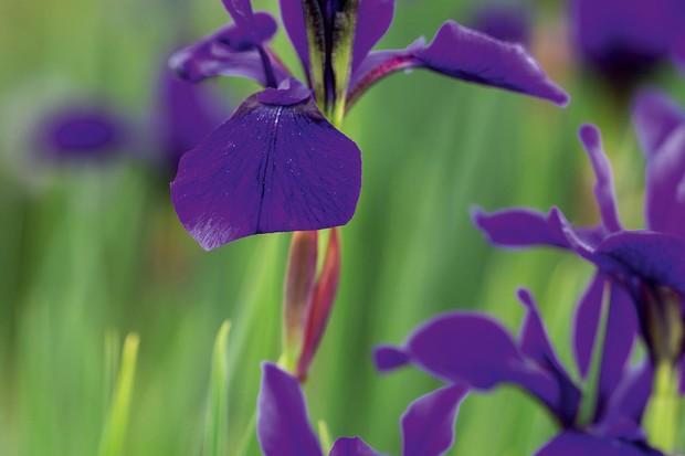 Iris siberica 'Pansy Purple'