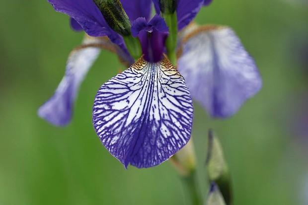 Iris siberica' Shrawley'