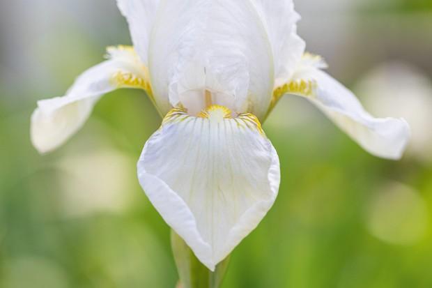 Iris 'Kashmir White'