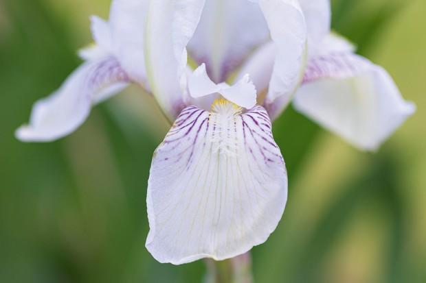 Iris 'Mrs Horace Darwin'