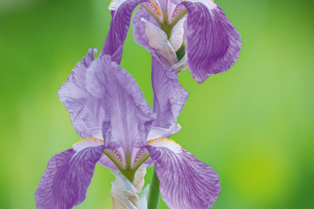 Iris 'Mrs Alan Gray Foster'