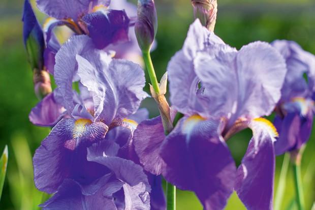 Iris 'Amas'