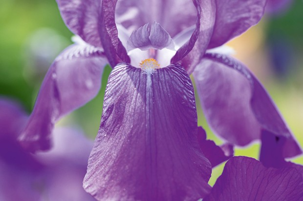 Iris 'Lustre'