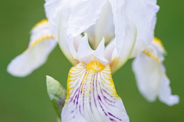 Iris 'Mrs George Darwin'