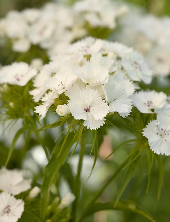 Dianthus barbatus 'Barbarini White'