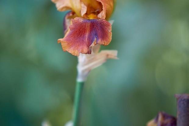 Iris 'Butterscotch Kiss'