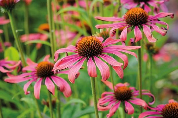 Echinacea 'Roze Rood'