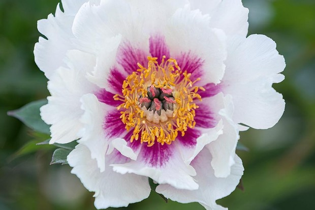 Paeonia 'Queen of Hearts'