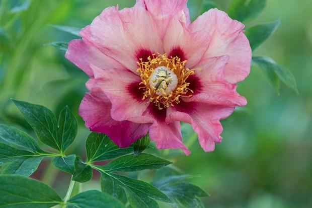 Paeonia 'Old Rose Dandy'
