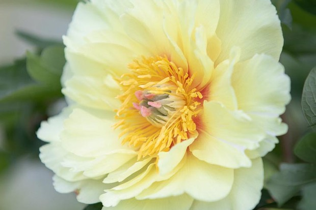 Paeonia 'Sonoma Welcome'