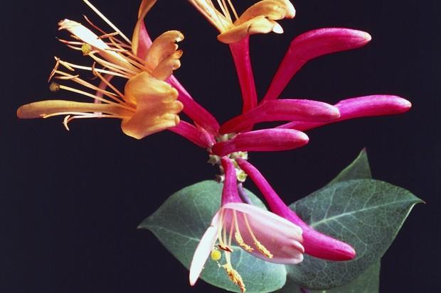 Honeysuckle: Lonicera caprifolium italica