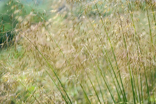 Ornamental grasses: Stipa gigantea
