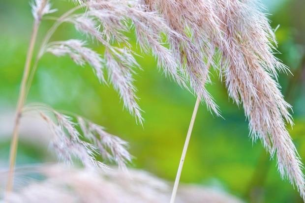 Ornamental grasses: Calamagrostis emodensis