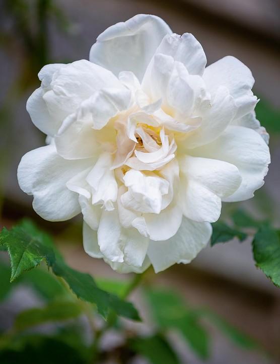 Rosa 'Madame Alfred Carrière'