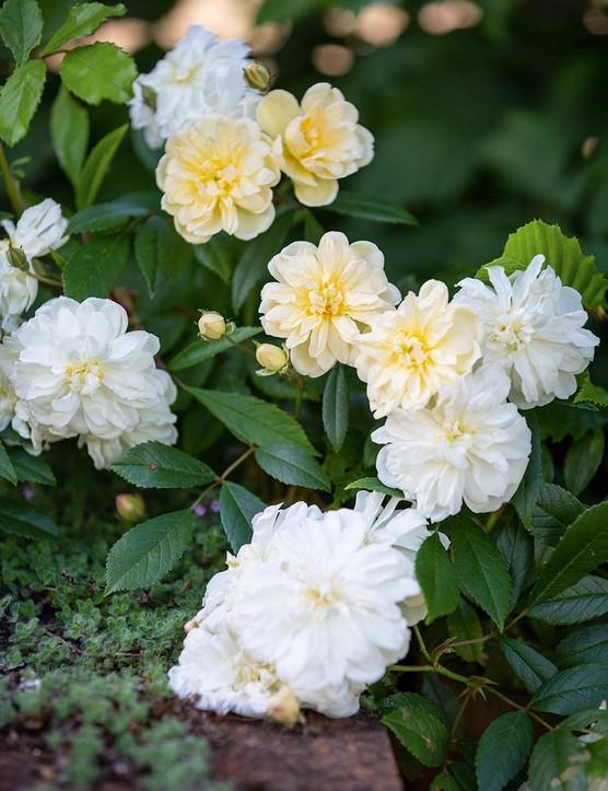 Rosa Snow Goose (= 'Auspom')
