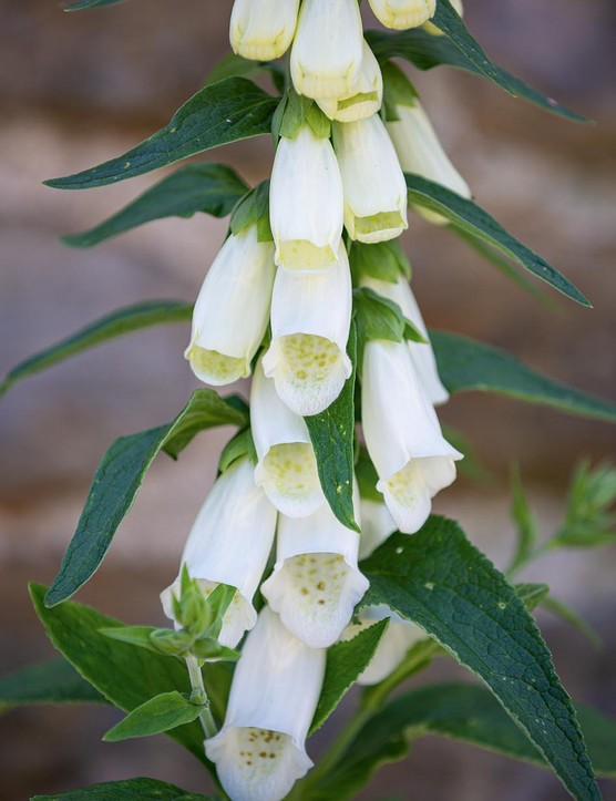 Digitalis purpurea f. albiflora