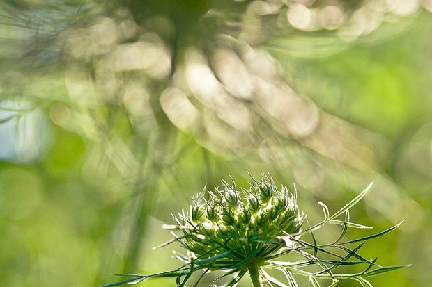Rachele Z. Cecchini 'Wild Carrot Flowers in the Late Afternoon', commended