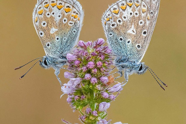 Tony North, 'Common Blues on Apple Mint', highly commended