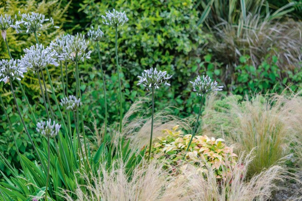 Agapanthus 'Windsor Grey' and Stipa tenuissima in Dorset gravel garden