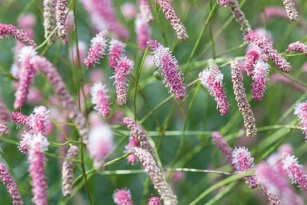 Sanguisorba 'Misbourne Pink'