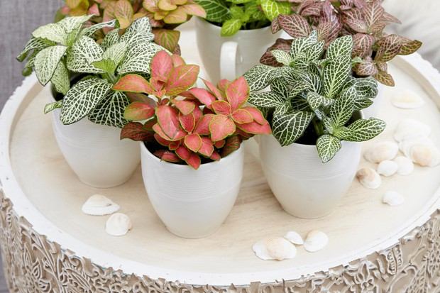 Fittonia collection