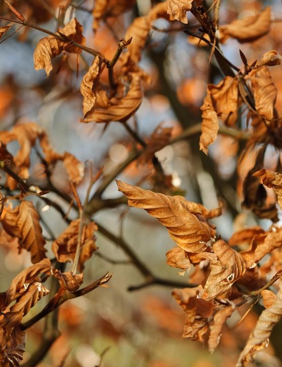 Fagus Sylvatica (Common beech)
