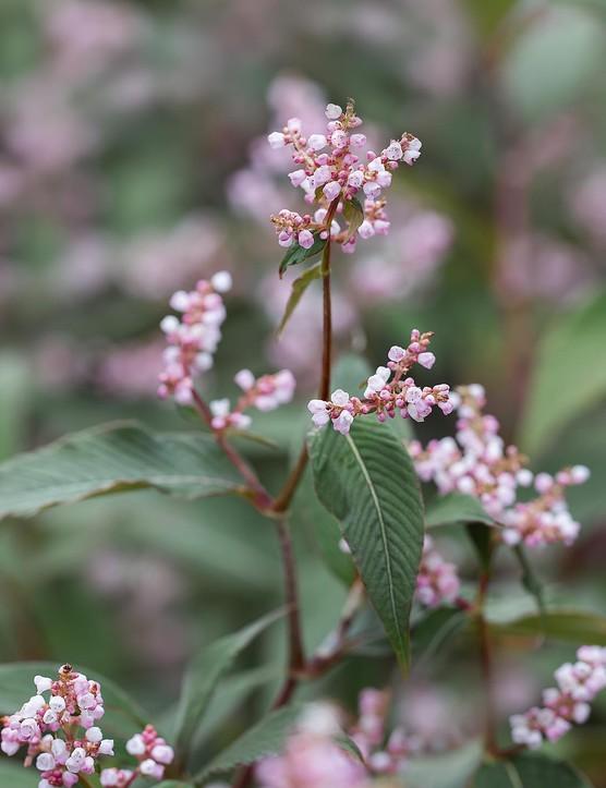 Persicaria campanulata 'Rosenrot'