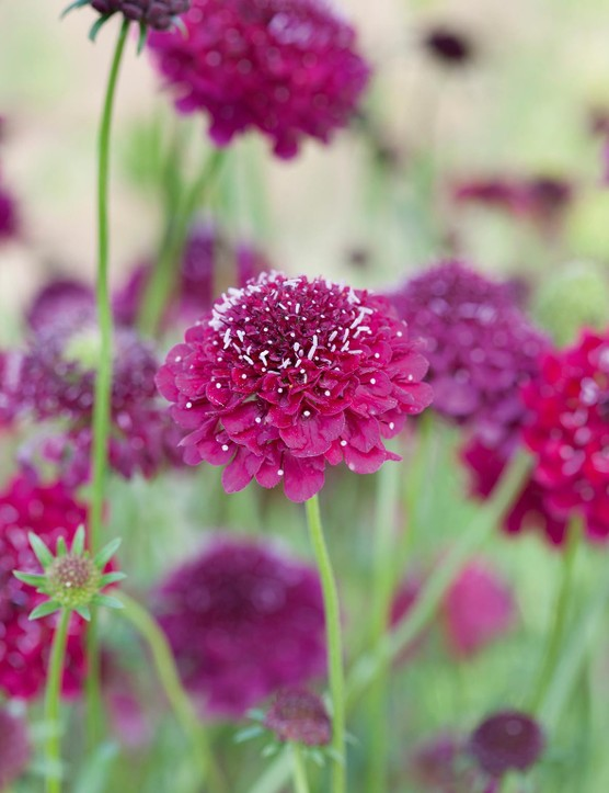 Cut flower: Scabiosa atropurpurea 'Beaujolais Bonnets'