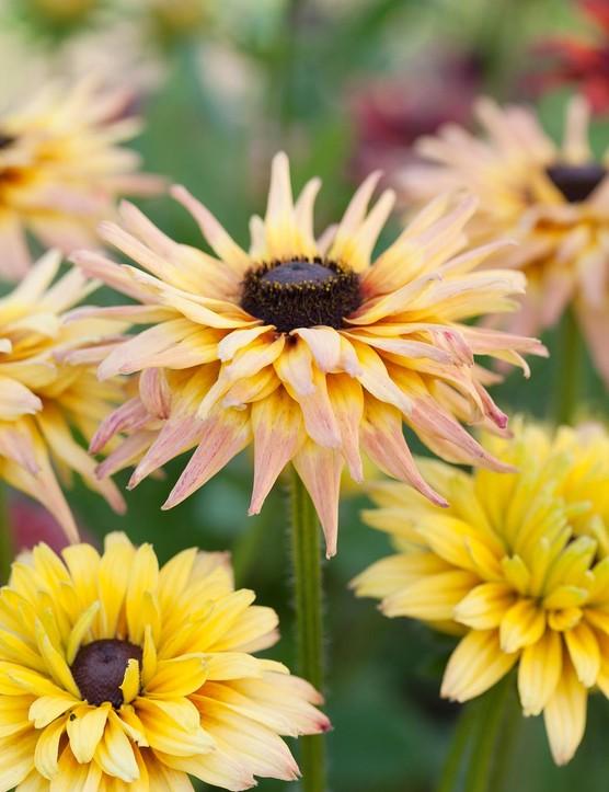 Cut flower: Rudbeckia hirta 'Sahara'