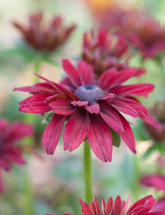 Cut flower: Rudbeckia hirta 'Cherry Brandy'
