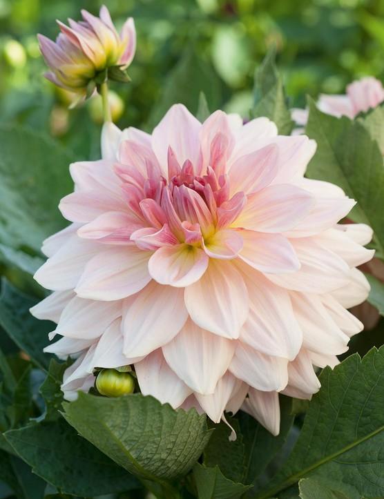 Cut flower: Dahlia 'Porcelain'