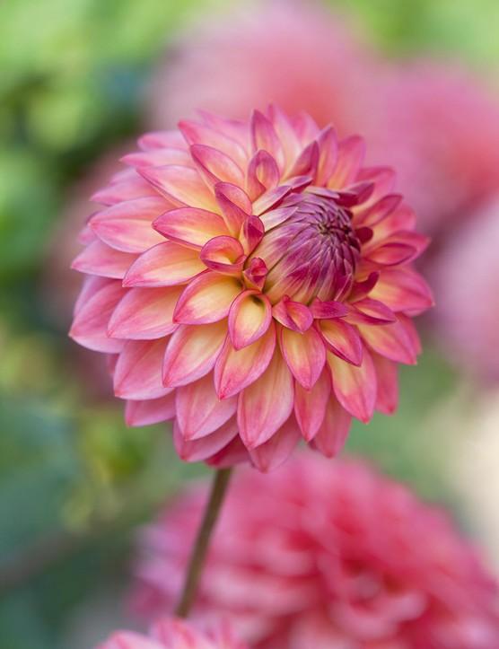 Cut flower: Dahlia 'Hillcrest Kismet'