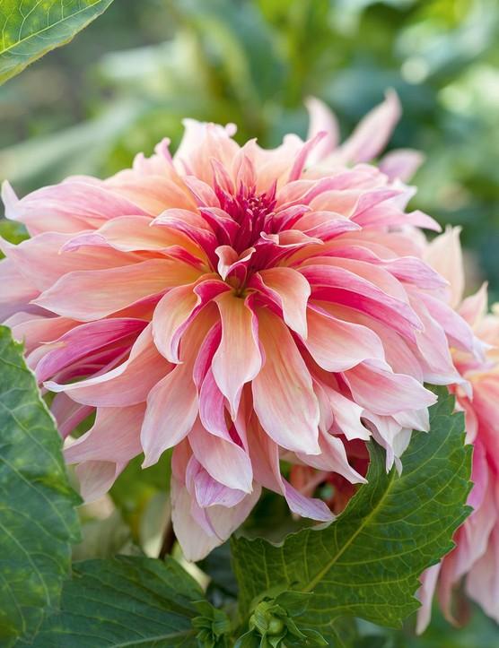 Cut flower: Dahlia 'Labyrinth'