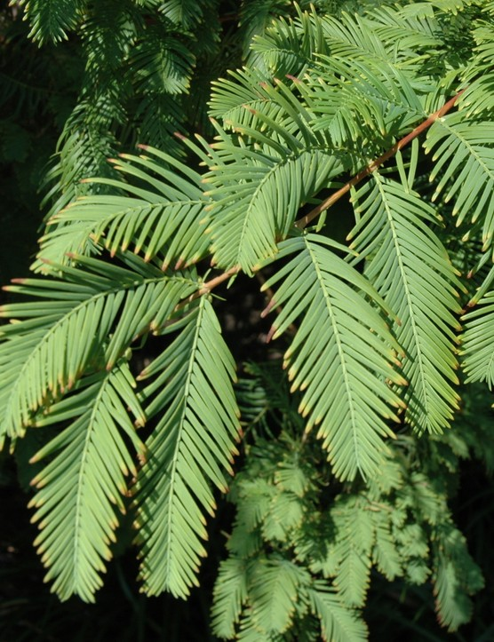 Flowers and foliage on Metasequoia glyptostroboides, or redwood