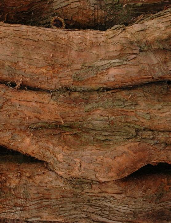Metasequoia glyptostroboides bark