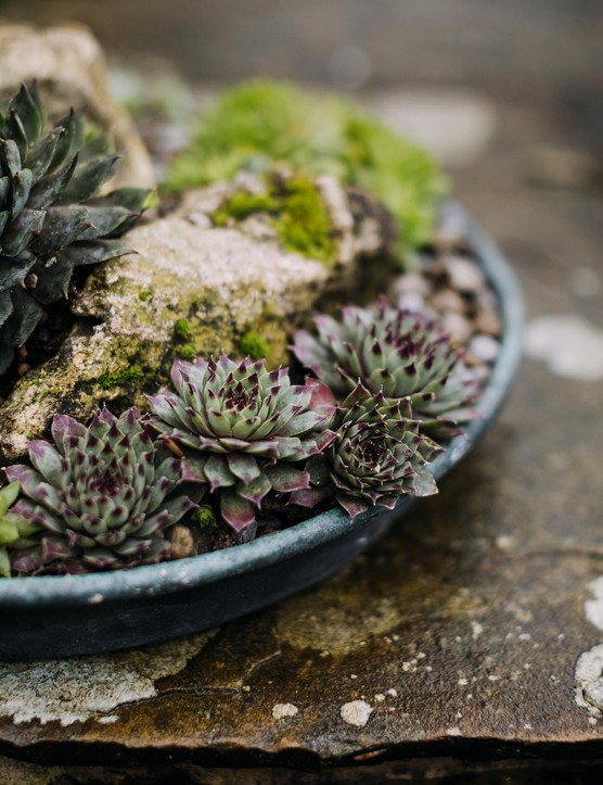 A winter succulents display with houseleek