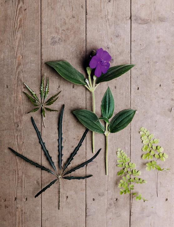 Plerandra elegantissima, Tibouchina urvilleana and Adiantum capillus-veneris