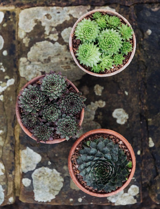 Jovibarba allionii, Sempervivum calcareum 'Sir William Lawrence' and Sempervivum 'Kong'