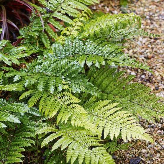 Propagating ferns: how to grow ferns